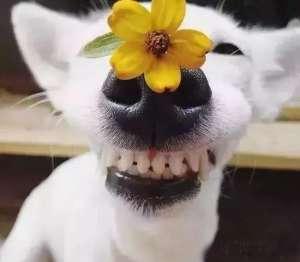 狗狗鼻头变色了是什么原因造成的